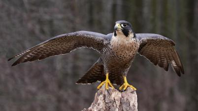peregrine-falcon-wings-extended.ngsversion.1396531053988.adapt.1900.1