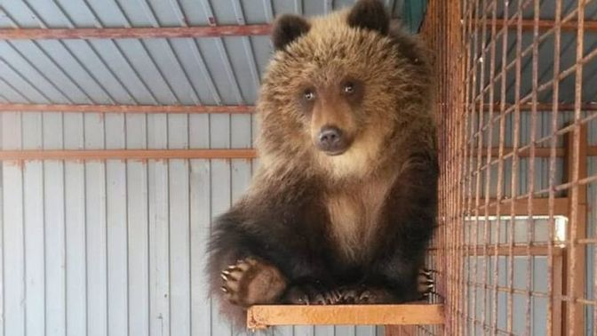 Russia Saves Starved Bear Cub